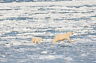01874-12112 Polar Bear (Ursus maritimus) mother and cub jumping on ice in Hudson Bay  in Churchill Wildlife Management Area, Churchill, MB Canada