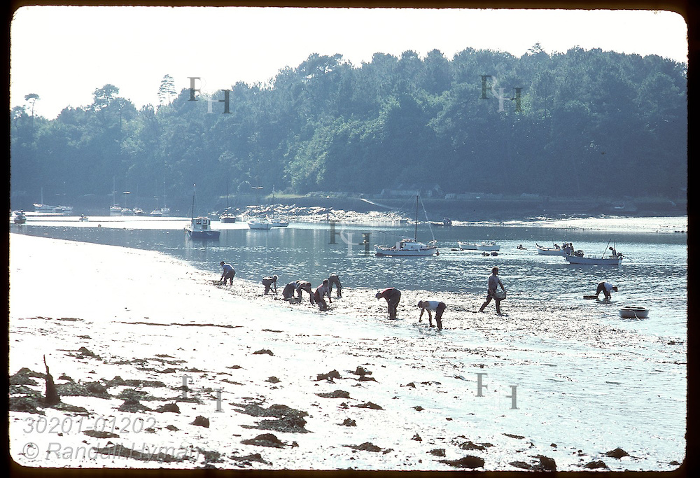 Clammers dig mud of Auray River @ Le Bono; gov't cut harvest to four days/yr due to pollution. France