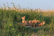 Swift foxes (Vulpes velox) in prairie habitat