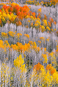 Aspen trees on Steens Mountain, in southeastern Oregon, replace their colorful autumn coats with the monochrome garb of winter.