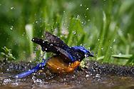 Fujian Niltava, Niltava davidi, bird bathing in water in Baihualing, Gaoligongshan, Yunnan, China