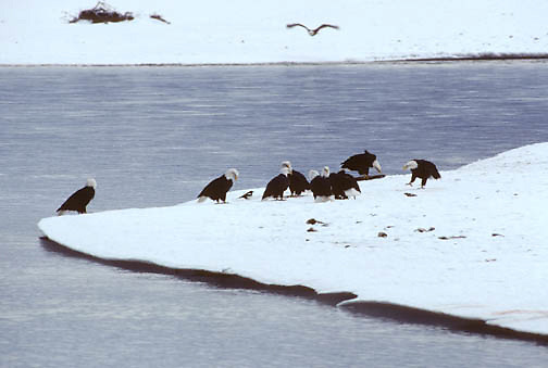 Bald Eagle (Haliaeetus leucocephalus) group feeding on salmon on a bank of Chilkat River,  Alaska.