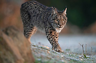 Iberian Lynx, Lynx pardinus, Parque Natural Sierra de Andújar, Andalucia, Spain. Endemic and Vulnerable according to IUCN. in 2019 estimated 830 individuals only