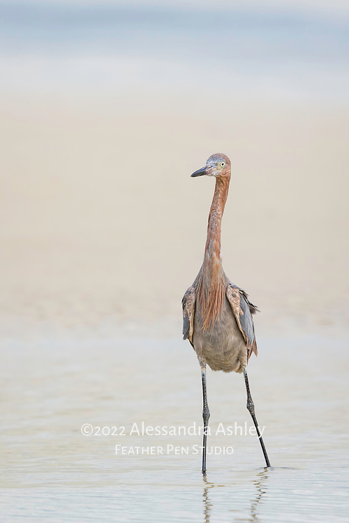 Reddish egret (Egretta rufescens) strikes pose and enjoys evening breezes while fishing in shallow lagoon environment at Bunche Beach Preserve.