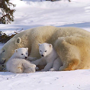 Mother and cub polar bear takes a moment to play and rest,  traveling towards Hudson Bay passes through a spruce forest in Wapusk National Park. It's early March and the temperatures are -46F, this is the time mother and cubs emerge from the den. Manitoba, Canada