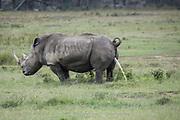 White rhino (Ceratotherium simum) urinating Nakuru National Park, Kenya.