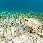 Green sea turtle (Chelonia mydas) eating a seagrass species called turtle grass (Thalassia testudinum). Eleuthera, Bahamas.