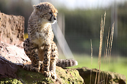 A 20-month-old cheetah cub in their enclosure at Whipsnade Zoo, Bedfordshire.
