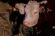 A87CK5 Hereford cow eating hay