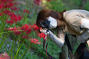 Japanese people look at and take photographs of Red Spider Lilies Lrycoris radiata) in Izumi no Mori park in Yamato, Kanagawa, Japan. Sunday, September 19th 2021. The Red Spider Lily, also known as the  equinox flower, is a famous autumn plant in Japan that attracts large crowds where it grows. In some areas to avoid spreading the Coronavirus the local authorities have even cut the flowers from the plant to dissuade people from gathering.
