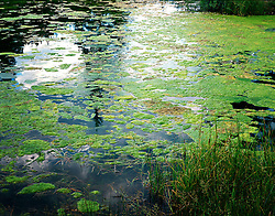 Surface view of pond with bright green algae, reflections of sky and trees, and some green grass in foreground