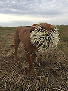 """Who you calling Spike? Mahalo, the dog who took on a porcupine and came off worse, narrowly lives to tell the tale<br /> <br /> A dog in Canada is lucky to be alive after being attacked by a porcupine and stabbed with barbs all over, including the heart and lungs.<br /> Mahalo was out playing with two other dogs in Saskatchewan - which shares a border with Montana in the south - when they encountered the spiky animal and were attacked.<br /> <br /> <br /> The animal punctured all three canines with its quills, but Mahalo was hurt the most<br /> <br /> The dog had to undergo surgery to remove the dangerous barbs.<br /> <br /> Mike Gerrand, a friend of Mahalo's owner, has set up a GoFundMe page to help them cover the dog's extensive vet bills.<br /> The cost of the surgeries has now hit $8,000.<br /> """"These dogs are the love of my dear friend Dennis' life,"""" wrote Gerrand.<br /> <br /> 'Dennis is a youth worker at the Street Culture Project and runs a small Organic Farm outside Regina.<br /> 'Dennis has had to take weeks off work to travel to Saskatoon to be with his baby girl.'<br /> <br /> As of Tuesday night, the page had raised over $10,000.<br /> ©Exclusivepix Media"""
