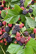 Blackberries growing on a bush in Gloucestershire, England, United Kingdom