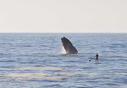 13/12/2009 - Cape Town - South Africa - EXCLUSIVE - .Stunning pictures showing a Paddlesurfer's close encounter with a Whale.this picture taken by Photographer Michael Poliza from Germany shows Axel Ohm, a stand-up paddlesurfer, enjoys unsurpassed views of a breaching Souther Right Whale in Walker Bay near Grootbos Nature Reserve, Western Cape. (Credit Image: © Whitehotpix/ZUMApress.com)
