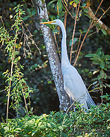 Great Egret hunting in Big Cypress Swamp. Image taken with a Nikon D3x camera and 70-200 mm f2.8 lens (ISO 220, 200 mm, f/2.8, 1/400 sec).