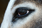 Closeup of a goat's eye, Common Ground Fair, Unity, Maine.