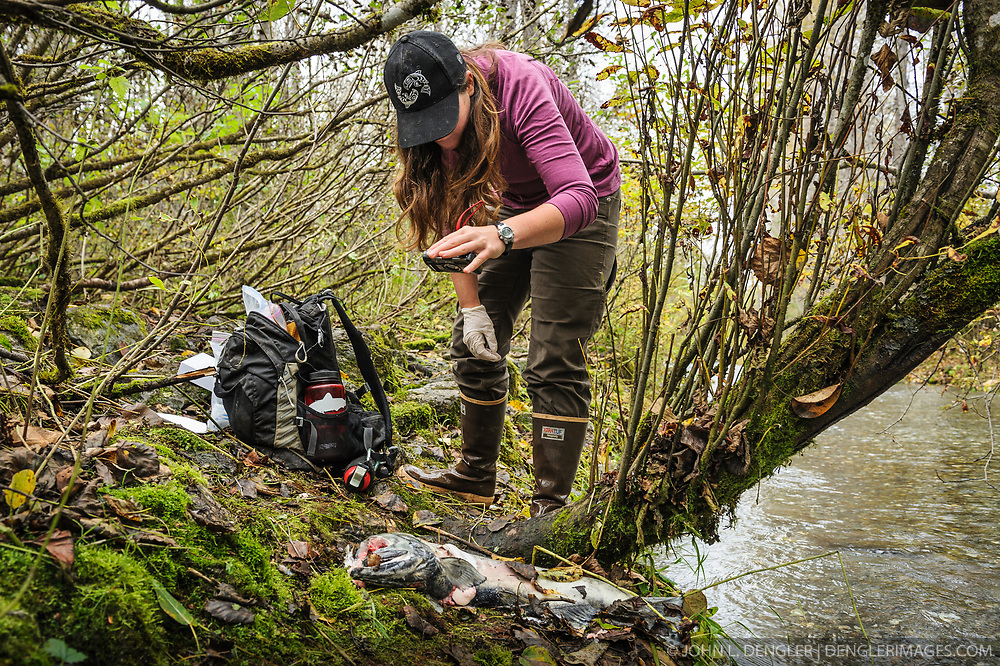 Rachel Wheat, a graduate student at the University of California Santa Cruz, photographs a salmon carcass from which she has taken a bear saliva DNA sample from on the banks of the man-made spawning channel of Herman Creek, near Haines, Alaska.<br /> <br /> Wheat is collecting DNA samples of bears from bear saliva left on salmon carcasses as part of research for her doctoral dissertation. She hopes to determine if partially-consumed salmon carcasses can serve as a viable source for bear DNA to genotype individuals. She also looking to determine a minimum population estimate for the number of bears using the Chilkoot Valley and the ratio of males to females, particularly in light of increase human presence. <br /> <br /> The bear DNA collection is part of her dissertation which looks at how the availability of salmon affects eagle movement, bear activity, and subsistence fishermen. EDITORS NOTE: Images of Wheat capturing bald eagles for the bald eagle portion of her study are available here: http://denglerimages.photoshelter.com/gallery/Bald-eagle-research-Chilkat-River-eagle-migration-study/G0000GTyPvah7eiQ/<br /> <br /> During late fall, bald eagles congregate along the Chilkat River to feed on salmon. This gathering of bald eagles in the Alaska Chilkat Bald Eagle Preserve is believed to be one of the largest gatherings of bald eagles in the world.