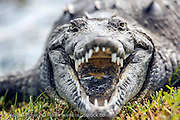 An endangered American Crocodile, Crocodylus acutus, basks near a pond in the golf course of the Ocean Reef community in Key Largo, Florida, United States.