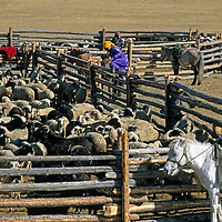 """MONGOLIA, Darhad Valley. Herding families gather their sheep and cattle for annual """"dipping"""" against parasites."""
