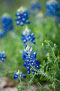 Texas Bluebonnet ( Lupinus texensis) phtotgraphed in Washington, County, Texas.  (C) Mark Matson 2008