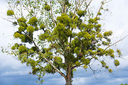 Mistletoe, obligate hemiparasitic plant of order of Santales, a Christmas symbol growing as parasite in host tree