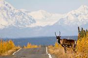 Alaska. Caribou (rangifer tarandus) crossing the Richardson Highway on fall migration.