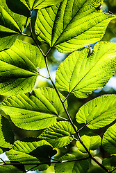Backlit leaves in forest canopy, Great Trinity Forest, Dallas, Texas, USA