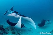 manta rays, Manta alfredi (formerly Manta birostris ), being cleaned by moon wrasses, Thalassoma lunare, and blue-streak cleaner wrasses, Labroides dimidiatus, Hanifaru Bay entrance, Hanifaru Lagoon, Baa Atoll, Maldives ( Indian Ocean )