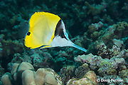 big longnose butterflyfish, big long-nosed butterflyfish, or lauwiliwili nukunuku oioi, Forcipiger longirostris, Honaunau, Kona, Hawaii ( Big Island ), Hawaiian Islands ( Central Pacific Ocean )