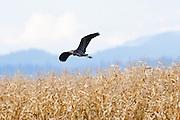 A Great Blue Heron (Ardea herodias) in flight in the Skagit Valley.