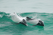Commerson's dolphin (Cephalorhynchus commersonii) [size of single organism: 1,40 cm]    Commerson-Delfin (Cephalorhynchus commersonii)
