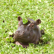 Hippopotamus (Hippopotamus amphibius) in Masai Mara National Reserve, Kenya, Africa.