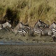 Burchells Zebra (Equus burchelli) Herd running through river. Durring migration in Serengeti National Park, more than 200,000 zebras migrate along side one million wildebeest and 300,000 Thomson's gazelles. Tanzania. Africa. February..Burchell?s Zebra (Equus burchelli) Herd running through river. Durring migration in Serengeti National Park, more than 200,000 zebras migrate along side one million wildebeest and 300,000 Thomson's gazelles. Tanzania. Africa. February.