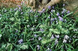 Scilla bithynica and the foliage of Arum italicum 'Pictum' syn  A. italicum subsp. italicum 'Marmoratum' growing at the base of Magnolia 'Lennei' at Great Dixter