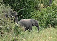 Female African Elephant and calf, Loxodonta africana, in Tarangire National Park, Tanzania