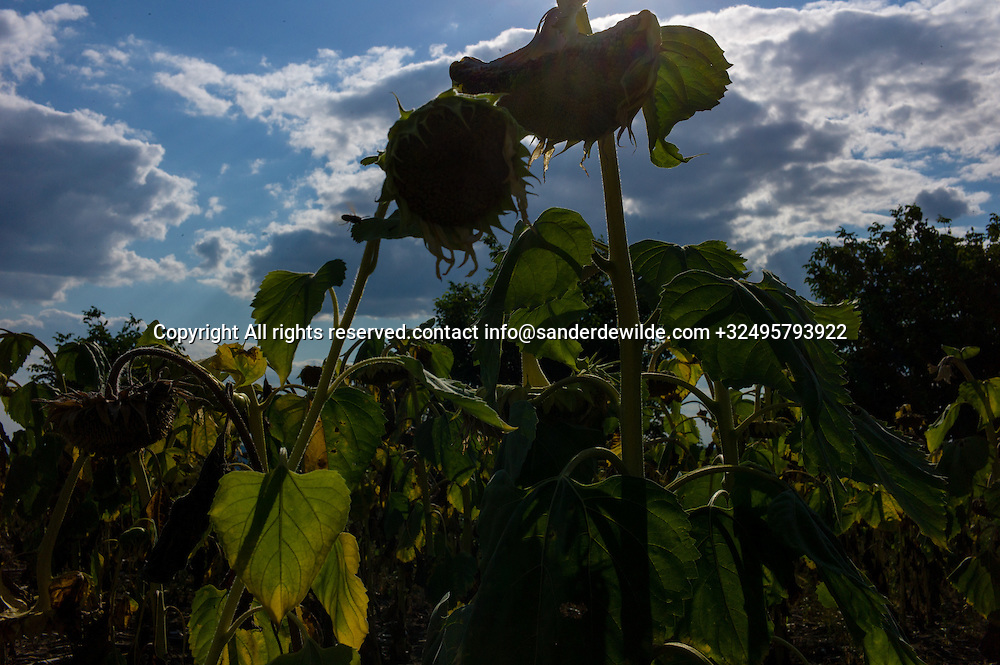 20150812  Moldova along the rode there are acres and acres of fields, with corn and sunflowers. For making oil.