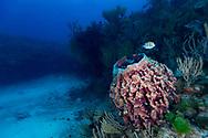 Caribbean barrel sponge - Eponge tonneau (Xestospongia muta), Playa del carmen, Yucatan peninsula, Mexico.