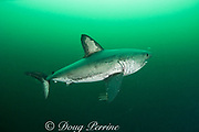 salmon shark, Lamna ditropis, with mating scar on side and copepod parasites trailing from fins, Port Fidalgo, Prince William Sound, Alaska, U.S.A.; this apex predator, sometimes called the Pacific porbeagle, is a mackerel shark in the order Lamniformes; it swims in cold water, but is warm-blooded ( homeothermic )