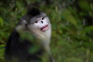 Portrait of Adult Yunnan, or Black Snub-nosed monkey, Rhinopithecus bieti,  Ta Cheng Nature reserve, Yunnan, China