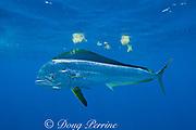 dorado, mahi mahi, or dolphin fish, Coryphaena hippurus, and floating clumps of sargassum weed, off Isla Mujeres, near Cancun, Yucatan Peninsula, Mexico ( Caribbean Sea )