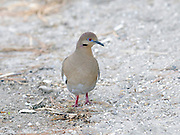 White-winged Dove (Zenaida asiatica)   forage round a dry river bed on the banks of  Lake Atitlan.  Panajachel, Republic of Guatemala. 04Mar14.