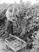 9969-4329. Picking Himalaya blackberries on Roy Miller's Helmick Park Fruit Farm. Kathleen Warrick, Marion Wiest. August 21, 1939. (Helmick Park is 6 miles from Monmouth.)
