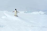Adelie penguin (Pygoscelis antarctica) on the ice shelf at Kinnes Cove, Paulet Island, Antartica.