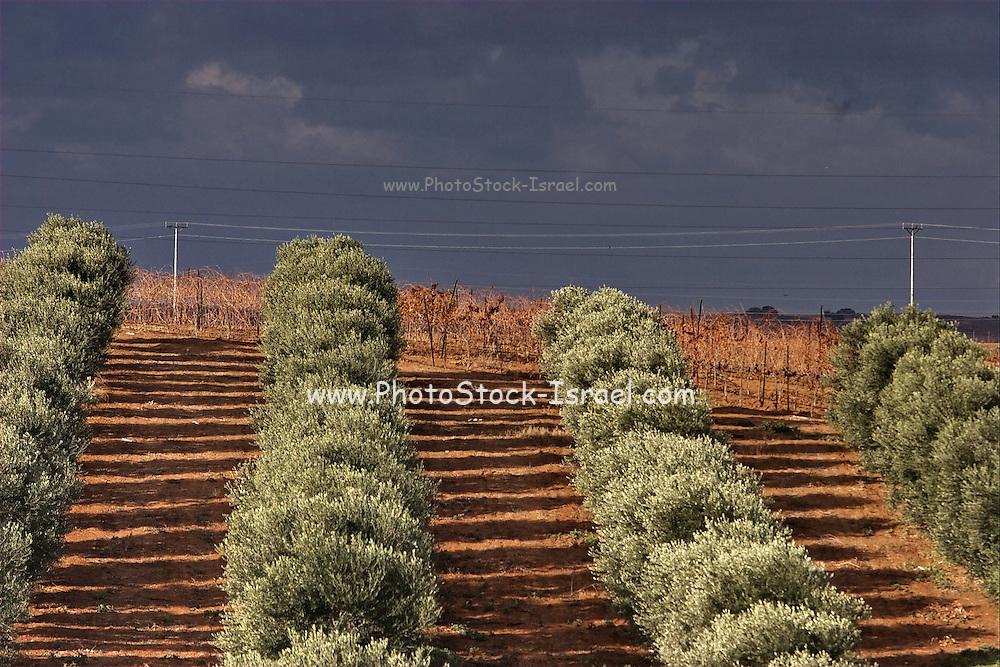 Israel, Negev desert, olive trees growing in the western Negev desert near Nitzana