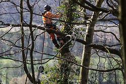 Wendover, UK. 9th April, 2021. A tree surgeon strips ivy from a tree in Jones Hill Wood, ancient woodland said to have inspired Roald Dahl, during tree felling operations for the HS2 high-speed rail link. Tree felling work began this week, in spite of the presence of resting places and/or breeding sites for pipistrelle, barbastelle, noctule, brown long-eared and natterer's bats, following the issuing of a bat licence to HS2's contractors by Natural England on 30th March.