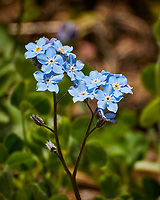 Forget-me-not Flowers. Image taken with a Nikon N1V3 camera and 70-300 mm VR lens.