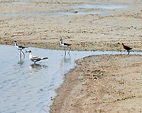 Black-necked Stilt (Himantopus mexicanus), Northern Jacana (Jacana spinosa), and Laughing Gull (Leucophaeus atricilla). Crooked Tree Wildlife Sanctuary. Image taken with a Nikon D3x camera and 70-300 mm VR lens