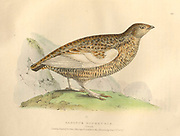 Female Lagopus muta rupestris (Rock Ptarmigan) color plate of North American birds from Fauna boreali-americana; or, The zoology of the northern parts of British America, containing descriptions of the objects of natural history collected on the late northern land expeditions under command of Capt. Sir John Franklin by Richardson, John, Sir, 1787-1865 Published 1829