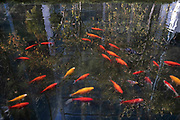 Goldfish in a pond in Spitalfields on 5th December 2020 in London, United Kingdom.