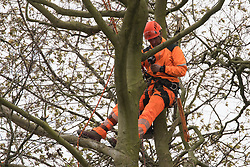 Wendover, UK. 28th April, 2021. An ecologist working on behalf of HS2 Ltd examines a tree expected to be felled for the HS2 high-speed rail link in ancient woodland at Jones Hill Wood in the Chilterns AONB. Felling of the woodland which contains resting places and/or breeding sites for pipistrelle, barbastelle, noctule, brown long-eared and natterer's bats has recommenced after a High Court judge yesterday refused campaigner Mark Keir permission to apply for judicial review and lifted an injunction on felling.